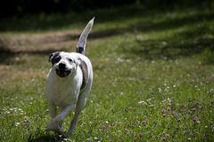 Cão running Cão preto e branco esperto Cão querido esperto Imagens de Stock