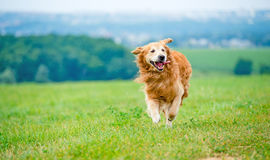 Cão Running do retriever dourado Fotografia de Stock Royalty Free