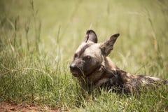 Cão selvagem africano Imagem de Stock