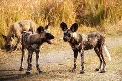 Cão selvagem - delta de Okavango - Moremi N P Fotos de Stock