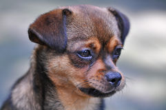 Cão sombrio Fotos de Stock