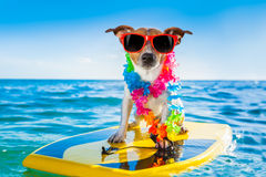 Cão surfando Imagem de Stock Royalty Free
