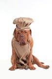 Cão Tired do cozinheiro chefe com o chapéu do avental e do cozinheiro chefe Fotografia de Stock Royalty Free