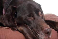 Cão velho Fotografia de Stock