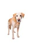 Cão velho de Labrador Fotografia de Stock