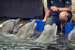 Coach gives reward to dolphins for their perfect output Stock Photography