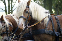 Coach with Haflinger horses Stock Photos