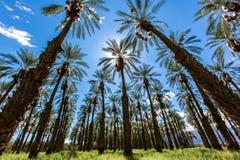 Coachella-Palmen und klare Himmel Stockbilder