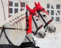 Coachman horses pair carriage ride at a winter snow street Royalty Free Stock Photography