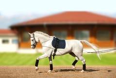 Coachning för vit häst vid tömmar i rörelse fotografering för bildbyråer