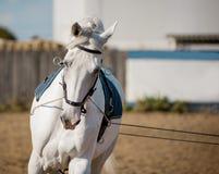Coachning för vit häst vid tömståenden arkivbilder