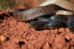 Coachwhip. In Oklahoma red dirt Stock Image
