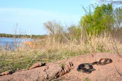 Coachwhip overlooking a lake Royalty Free Stock Photo