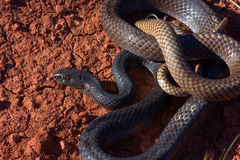 Coachwhip Royalty Free Stock Photography