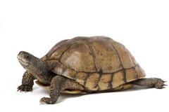 Coahuilan Box Turtle. (Terrapene Coahuila) isolated on white background Stock Photo