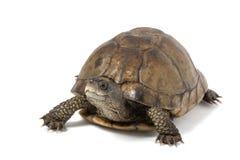 Coahuilan Box Turtle. (Terrapene Coahuila) isolated on white background Royalty Free Stock Photo