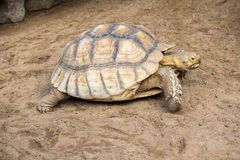 Coahuilan Box Turtle Royalty Free Stock Photos