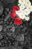 Coal background red roses and daisies Stock Images