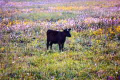 Coal-Black calf with white spot on his forehead on colorful mead royalty free stock photo