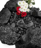 Coal Red Rose daisies mining flora Royalty Free Stock Photos