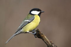 Coal tit Stock Photography