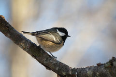 Coal Tit. Perched on a branch Stock Image