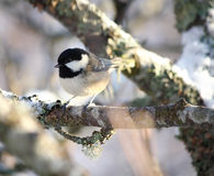 Coal Tit. Perched on a branch Royalty Free Stock Photo