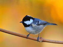 Free Coal Tit Royalty Free Stock Images - 18477589