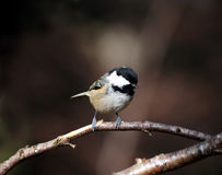 Coal Tit. (Periparus ater) perched on a tree branch Royalty Free Stock Image