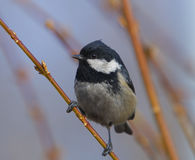 Coal tit. Sitting and resting on the bush branch Royalty Free Stock Image