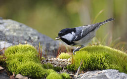 Coal tit Stock Photo