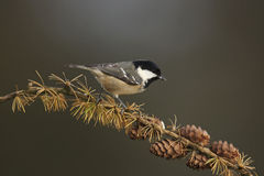 Coal Tit. A Coal Tit, Parus ater,on a branch of a larch Royalty Free Stock Photos