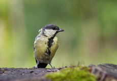Coal tit. Shot of a coal tit royalty free stock photography