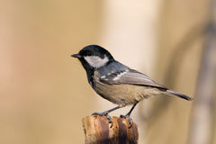 Free Coal Tit Royalty Free Stock Image - 4232046