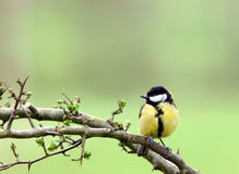 Coal Tit. A coal tit sitting on the branch of a hawthorn tree in spring Stock Photo