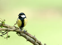 Free Coal Tit Stock Photography - 458122