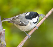 The coal tit Royalty Free Stock Photography