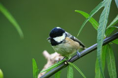 Coal tit. Coal tit on a perch against a blurred green background close up Stock Photo