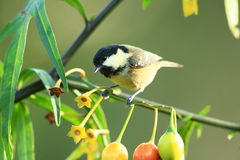 Coal tit. Royalty Free Stock Photography