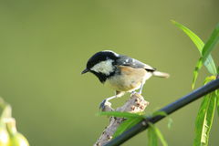 Coal tit. Coal tit  on a perch  profile  view.Green background Stock Image