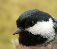 Coal tit Royalty Free Stock Photos
