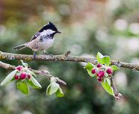 Coal Tit on apple tree in spring. Coal tit perched on an apple tree branch in springtime with red blossom buds and green leaves stock image