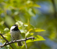 Coal tit bird on a branch Royalty Free Stock Photography