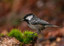 Coal tit Royalty Free Stock Photography