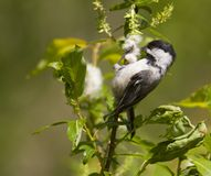 Coal tit black Royalty Free Stock Photos