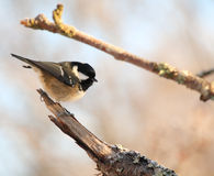 Coal Tit on branch Royalty Free Stock Images