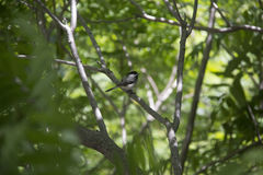Coal tit on a branch Royalty Free Stock Photos