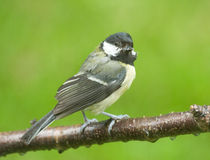 Coal tit on the branch of a tree. A Coal Tit perched on the branch of a tree in the garden looking at the camera Stock Photos