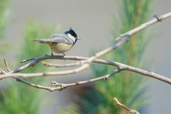 Coal Tit. The close-up of a Coal Tit stands on branch. Scientific name: Parus ater Stock Image