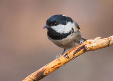 Coal tit closeup. Closeup of a coal tit (Periparus ater) perched on a dry pine twig Royalty Free Stock Photos